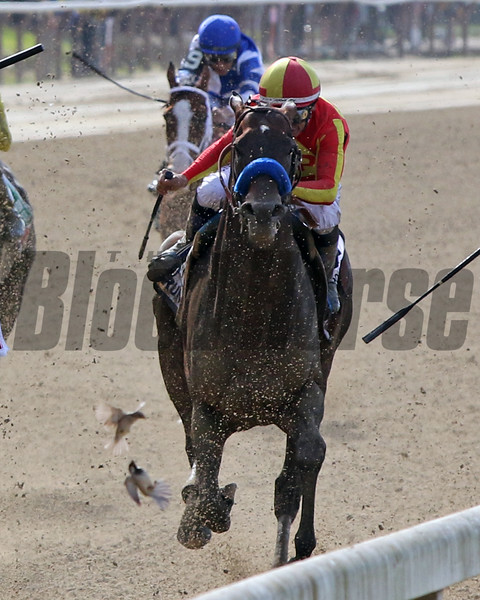 A bird flies into McKinzie during the 126th Running of the Metopolitan (GI) at Belmont Park on June 8, 2019. Photo By: Chad B. Harmon