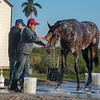 Signalman getting a bath @ Gulfstream Park March 23 2019<br /> ©Joe DiOrio/Winningimages.biz