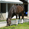 Caption: grazing outside her barn<br /> Midnight Bisou at Keeneland on May 2, 2020 Keeneland in Lexington, KY.