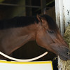 Artemis Agrotera the following day at Saratoga 8/24/2014.<br /> Coglianese Photos/Susie Raisher