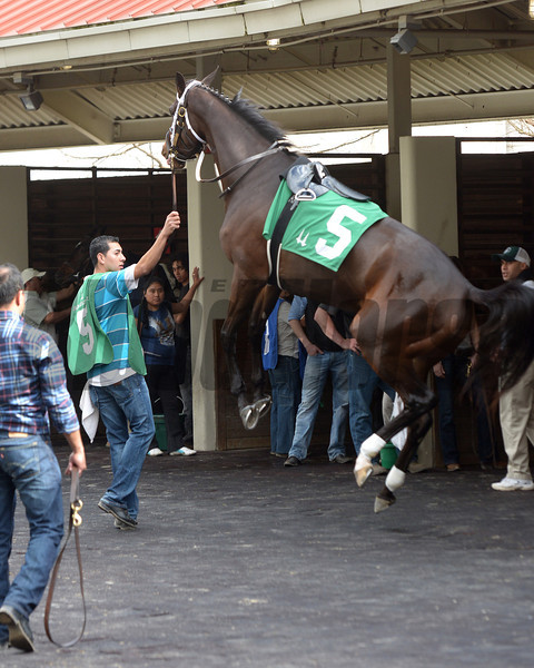 Samantha Nicole rears in the Fair Grounds paddock, Sunday, February 16, 2014 in New Orleans, LA.<br /> The 3-year-old full sister to 2009 Horse of The Year Rachel Alexandra eventually settled down before finishing 2nd in her career start.<br /> Alexander Barkoff Photo