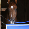 V E Day after the Travers Stakes 8/24/2014.<br /> Coglianese Photos/Susie Raisher