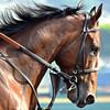American Pharoah Profile 14 x14 032115
