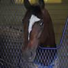 Tonalist at Belmont Park April 30.<br /> Coglianes Photos/Susie Raisher