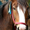HOMESTEAD SALLY, the Santa Anita Clydesdale, wearing Zayat Stables colored ribbons in honor of American Pharoah 06.27.15. Photo by Helen Solomon