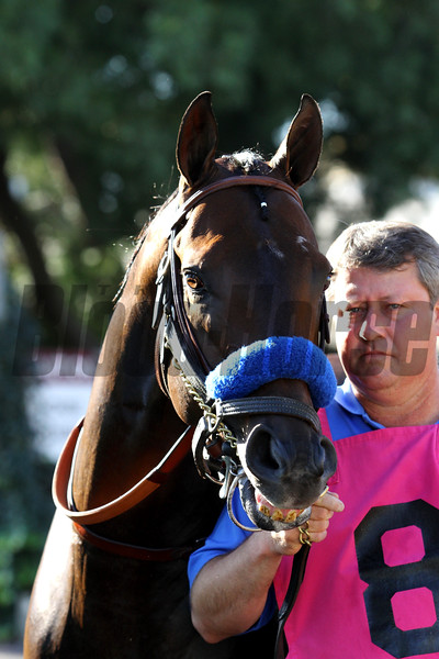BAYERN comes up from the barn for his final race (before being retired) in the G1 Awesome Again Stakes at Santa Anita 09.26.15. Photo: Helen Solomon