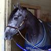 El Kabeir, day after winning the Gotham Stakes March 8, 2015.<br /> Coglianese Photos/Susie Raisher