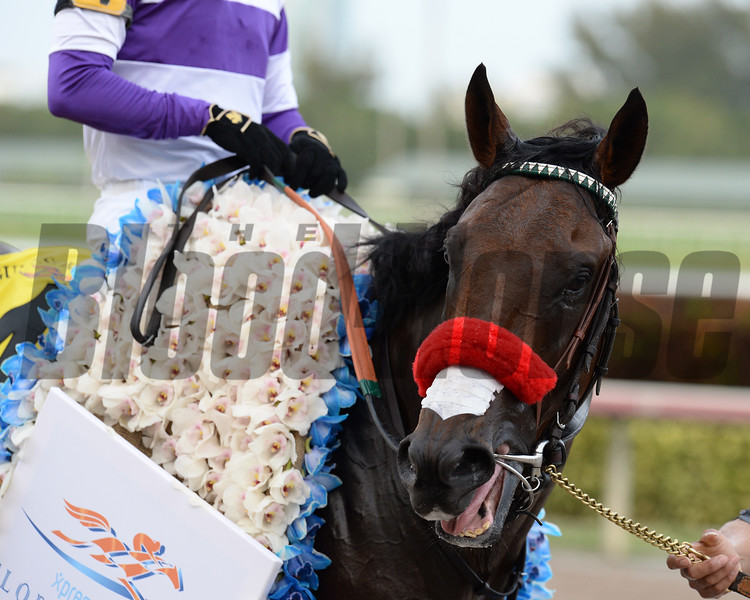 Nyquist wins the 2016 Florida Derby<br /> Coglianese Photos/Lauren King