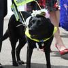 Seeing eye dog at the 2016 Royal Ascot meet.<br /> Mathea Kelley Photo