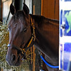 Brooklyn Bobby stands in his stall in the barn of Brian Lynch at the Saratoga Race Course Friday Aug. 5, 2016 in Saratoga Springs, N.Y.