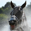 Grassady is all smiles after  the seventh race as he gets a cooling spray of water from the hose on the main track at the Saratoga Race Course Friday July 29, 2016 in Saratoga Springs, N.Y.  (Skip Dickstein
