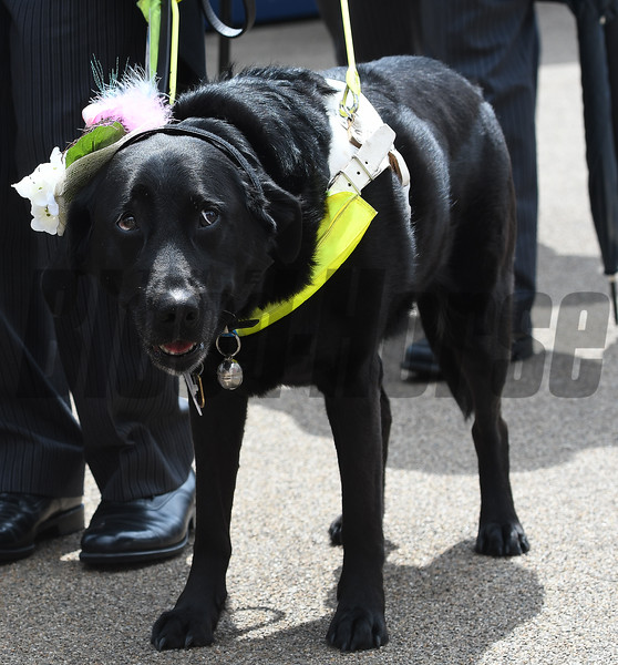 Seeing eye dog at the 2016 Royal Ascot meet.<br /> Mathea Kelley Photo