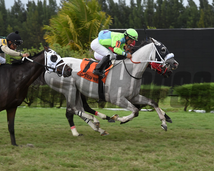 Galleon Mast wins the 2019 Millions Turf Preview Stakes at Gulfstream Park West<br /> Coglianese Photos/Lauren King