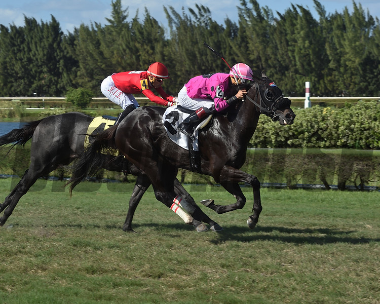 Deo Forte wins a maiden special weight at Gulfstream Park West. Photo: Coglianese Photos/Lauren King