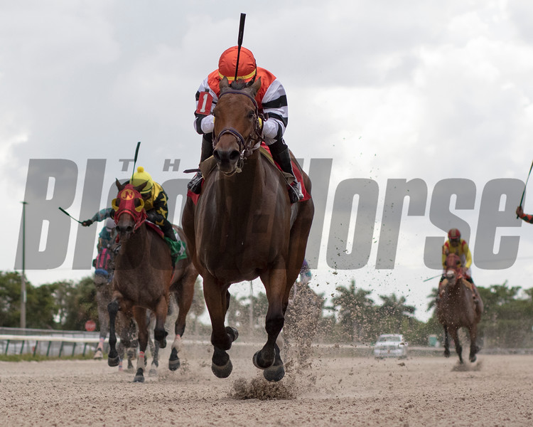 My Sarasota Star wins an allowance optional claiming race October 2, 2019 at Gulfstream Park West. Photo: Coglianese Photos/Ryan Thompson