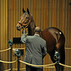 Caption: Hip 427 Royal Delta in the sales ring<br /> Keeneland Sales, Keeneland, November 8, 2011, in Lexington, Ky.<br /> RoyalDeltaHip427 image904<br /> Photo by Anne M. Eberhardt