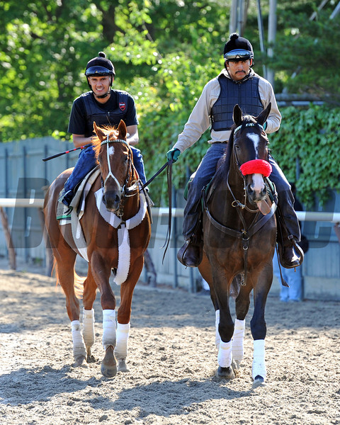 Kentucky Derby/Preakness winner I'll Have Another, heading back to the barn Friday morning at Belmont...<br /> © 2012 Rick Samuels/The Blood-Horse