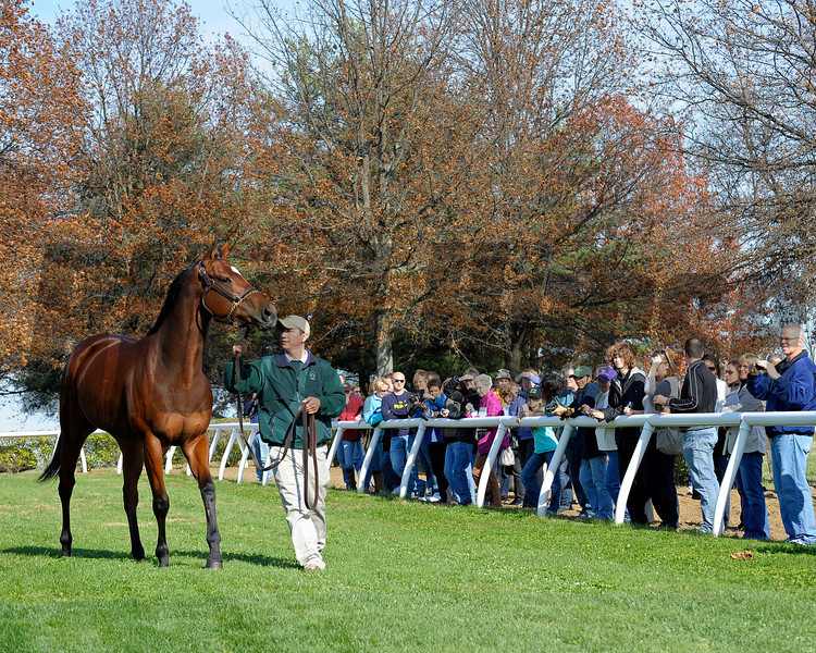 Caption: the filly is paraded<br /> Rick Porter's Havre de Grace at Vinery Stud near Lexington, Ky. on November 12, 2011, before leaving for some time off in Florida and then returning to training with Larry Jones in the new year.<br /> HavredeGrace1 image 4109<br /> Photo by Anne M. Eberhardt