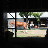 Shackleford at Saratoga - August 2, 2012.<br /> Coglianese Photos