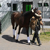 Orb arrives at Belmont Park following his Kentucky Derby 139 victory.<br /> 5/5/2013<br /> Photo by Coglianese Photos