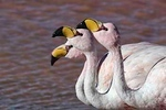 AndeanFlamingos3_D715427