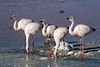 AndeanFlamingos_D715170
