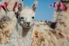 Alpaca_D716054