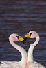 AndeanFlamingos2_D715252
