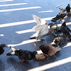 Pigeons fighting over a pice of bread.