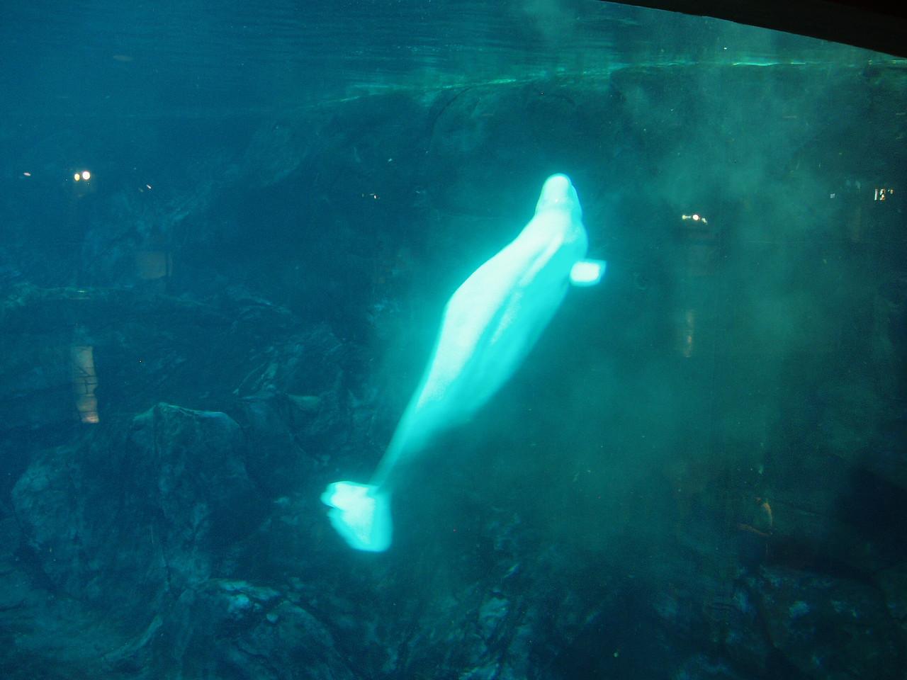 I love beluga whales.