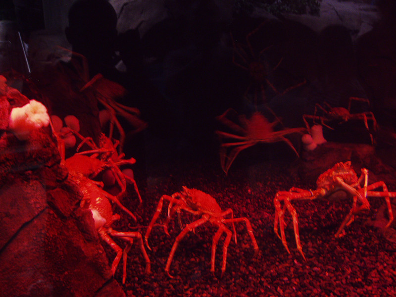 Freaky red japanese spider crabs - or - aliens!