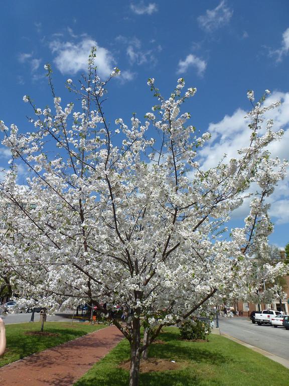Cherry Blossom Festival (Atlanta Outdoor Club)
