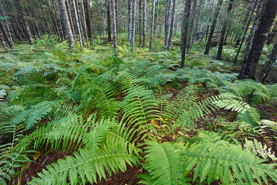 Spruce forest with ferns covering ground Maritime provinces