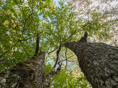 Vertical view up at sky through canopy of red oak and yellow birch Corbett Lake Nova Scotia
