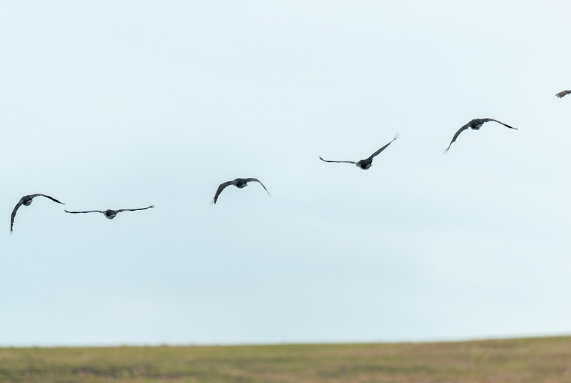 Birds in flight at New Island, Falkland Islands