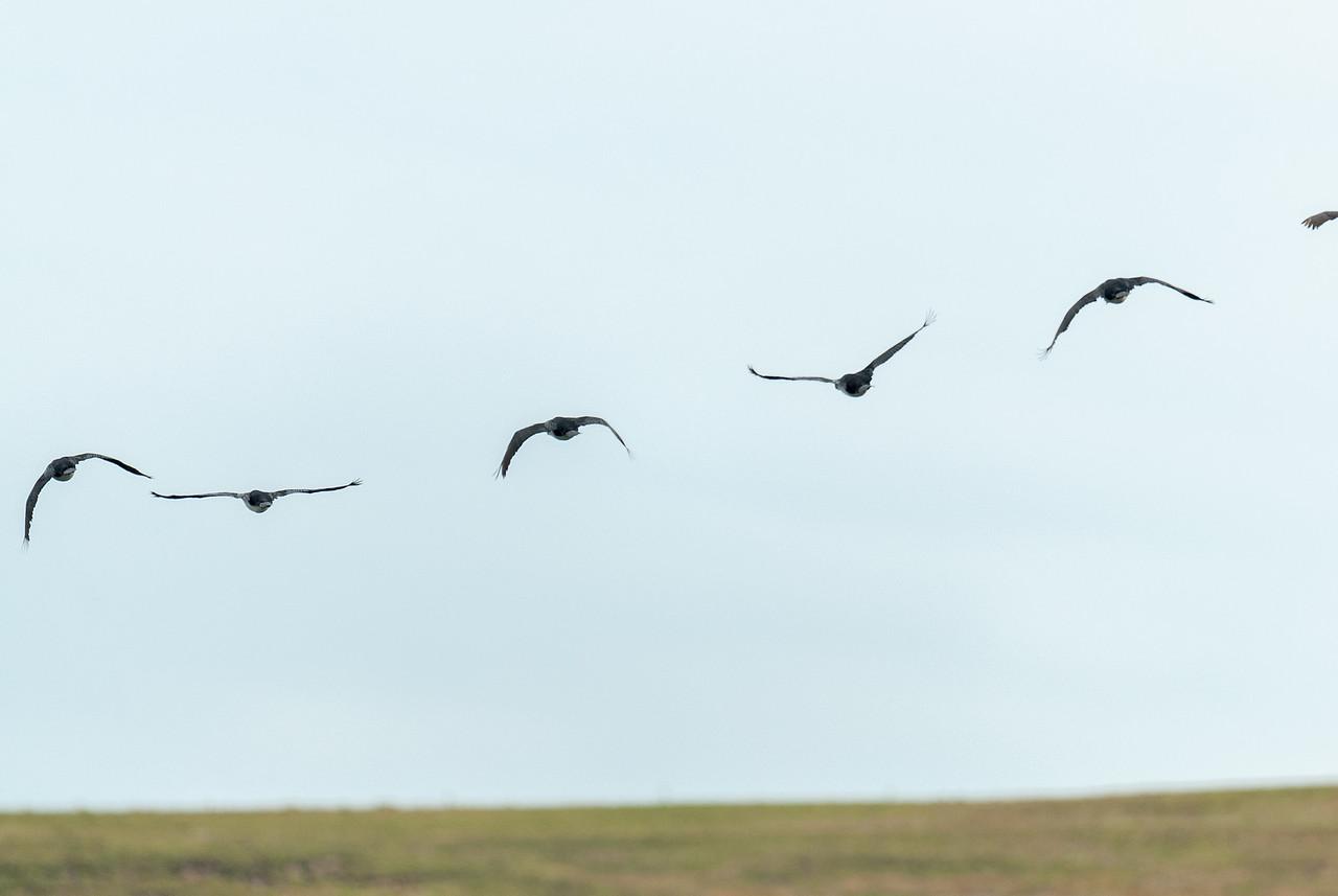 Birds in flight at New Island, Falkland Islands