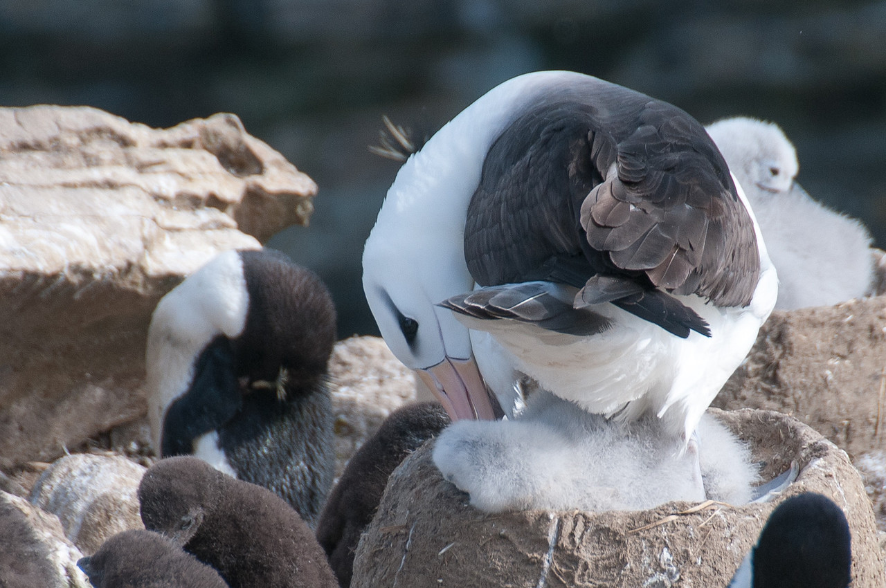 Albatross in New Island, Falkland Islands