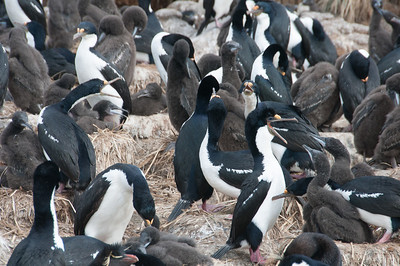 Penguins in New Island, Falkland Islands