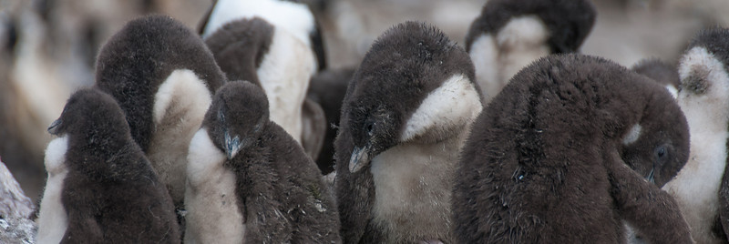 Penguin chicks in New Island, Falkland Islands