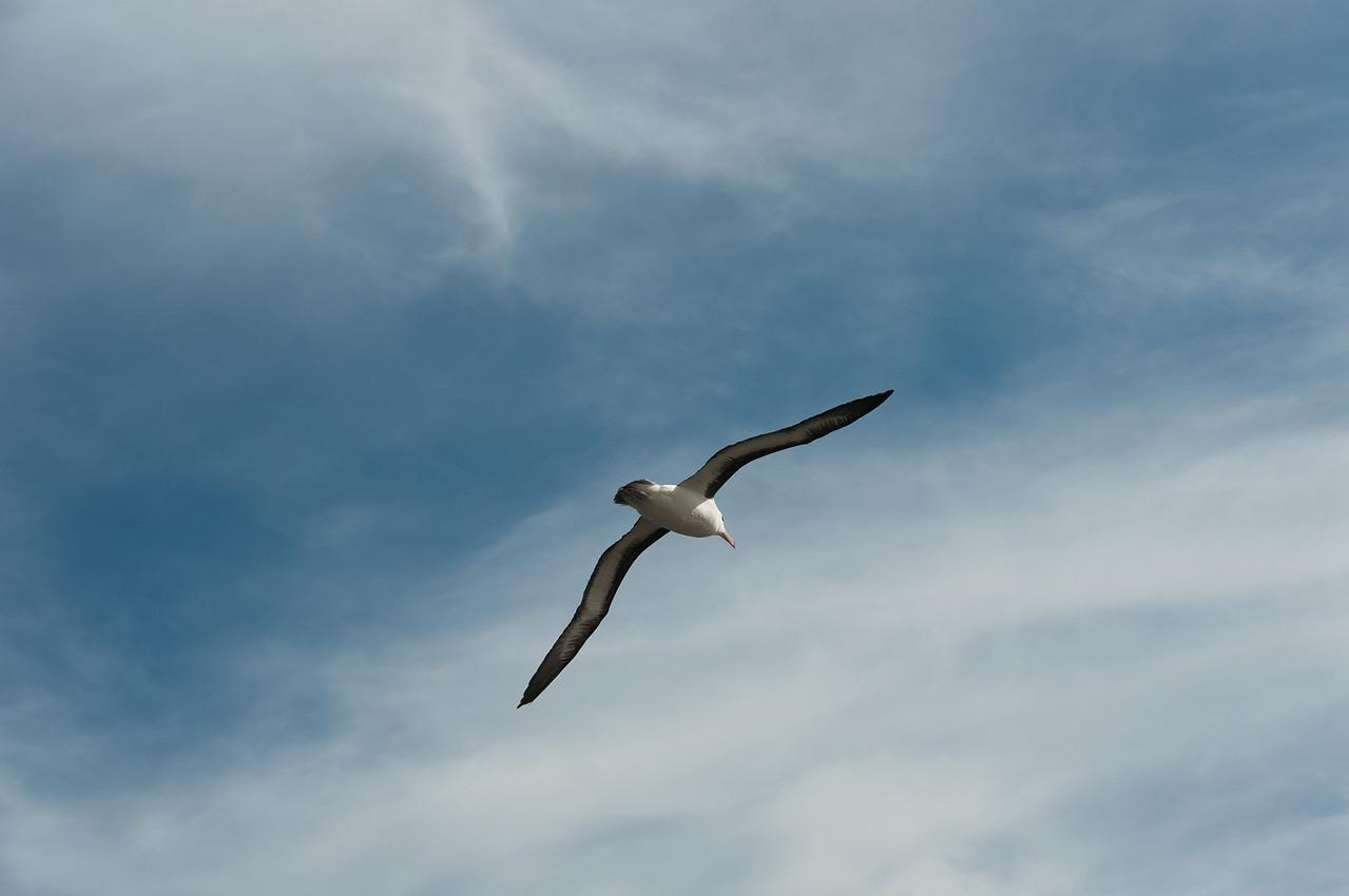 Bird in flight in New Island, Falkland Islands
