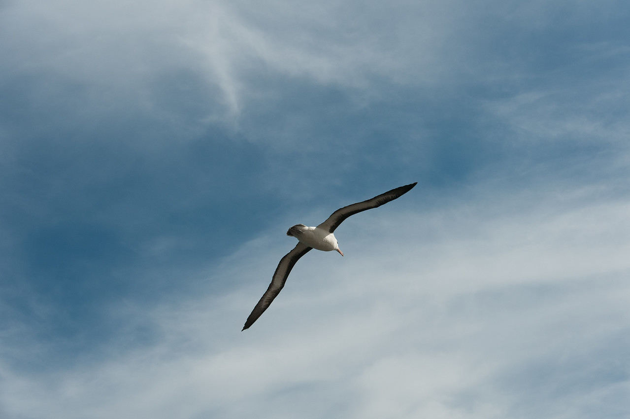 Bird in flight in New Island, Falkland Islands