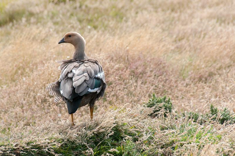 Steamer duck in New Island, Falkland Islands