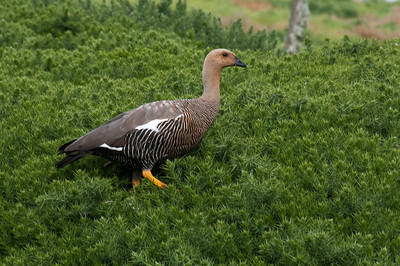 Ruddy-headed goose in New Island, Falkland Islands