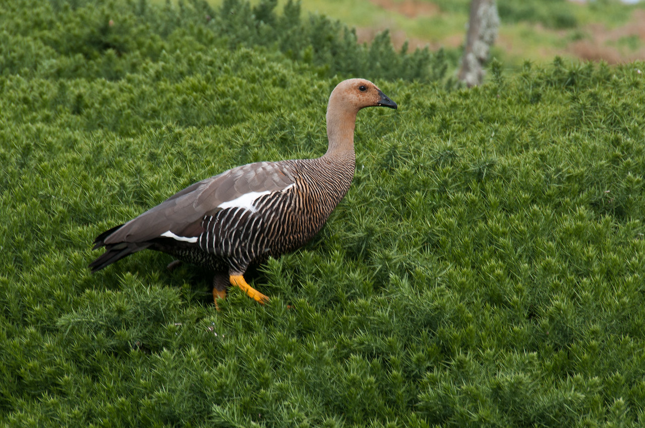 Ruddy-headed goose in New Island, Falkland Islands