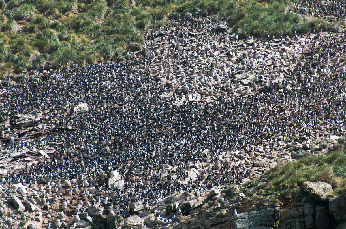 Rockhopper Penguin Colony in the Falkland Islands