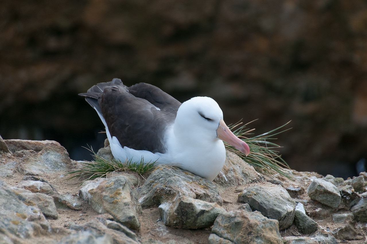 Black-browed albatross in New Island, Falkland Islands
