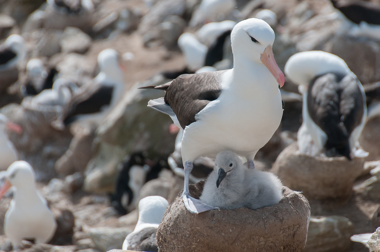 Albatrosses in New Island, Falkland Islands