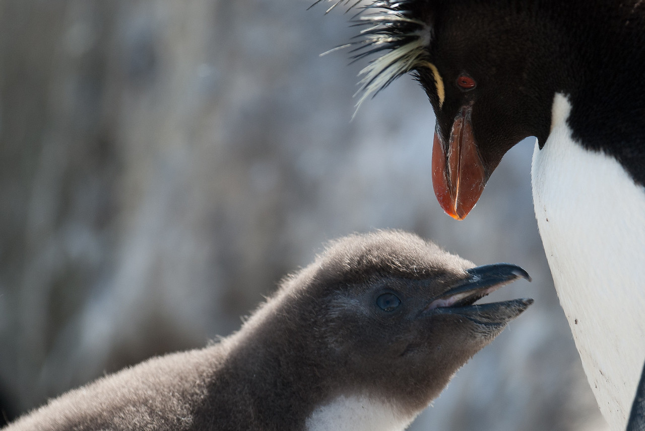 Penguin and chick in West Point Island