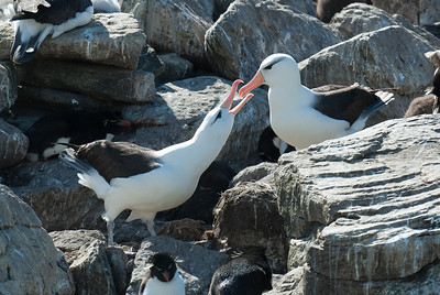 Albatrosses, West Point Island, Falkland Islands