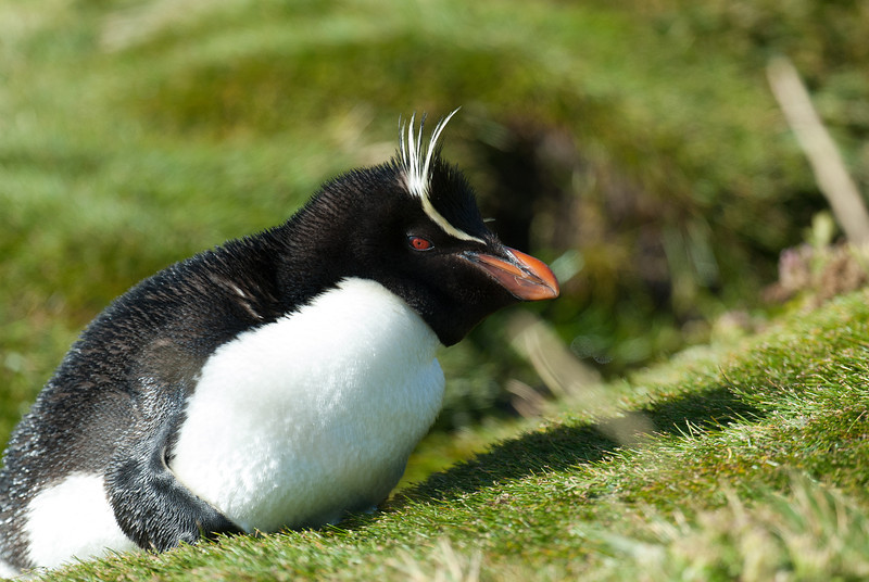 Rockhopper penguin, West Point Island, Falkland Islands